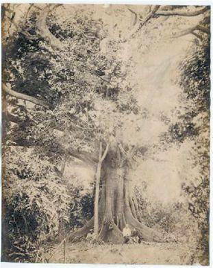 silkcotton tree
